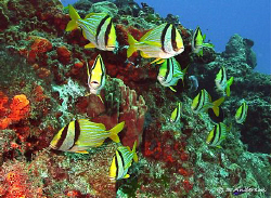 Who is the leader? These Porkfish are always enjoying the... by Steven Anderson 
